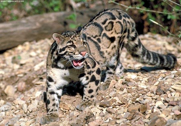 Большие коты виды