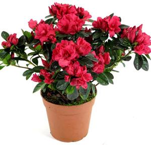Самые полезные комнатные растения фото хлорофитум